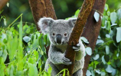 Koala adopteren in Australie