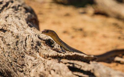 Dit zijn 5 gevaarlijke Australische dieren om op te letten