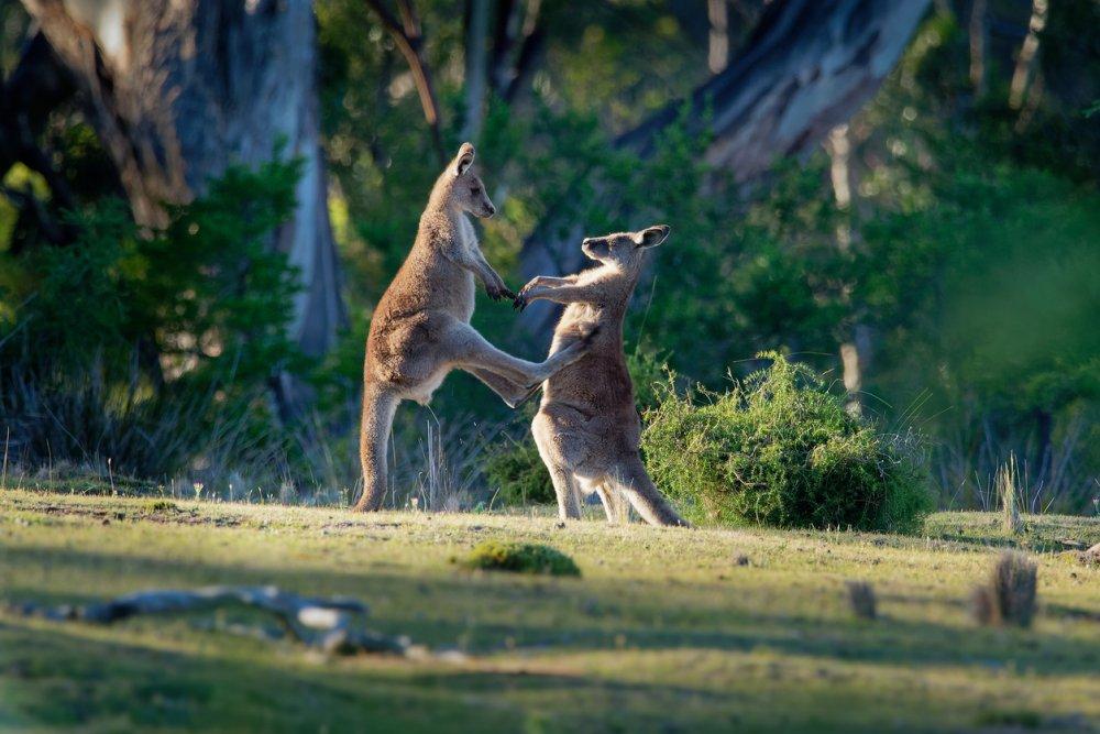 Hoe bereid je je voor op de dieren in Australië?